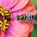 American Hover Fly by Calibas