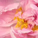 Detail of a Peony by Simon Koopmann