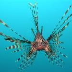 Common lionfish by Jens Petersen
