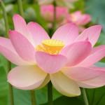 Nelumno nucifera open flower by Peripitus
